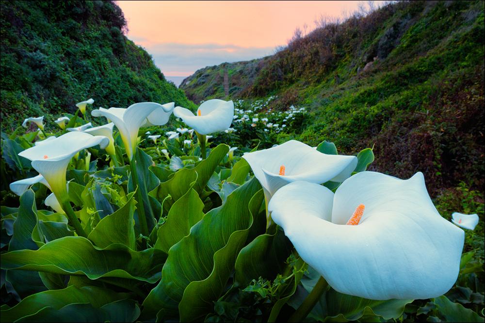 Lily Valley Big Sur Wild Calla Lilies Big Sur