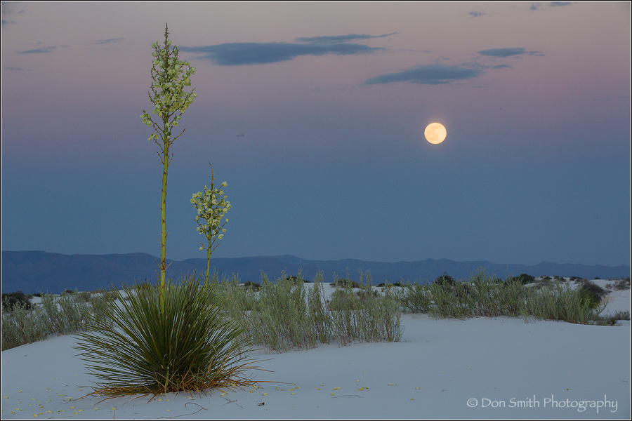 Yucca And Moonrise