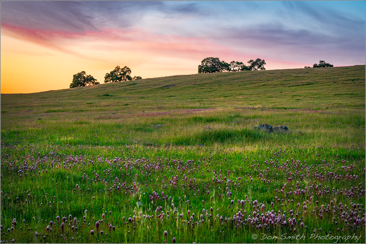 Owl's Clover and Oaks, Southern santa Clara Valley, Diablo Mountains, California, USA.