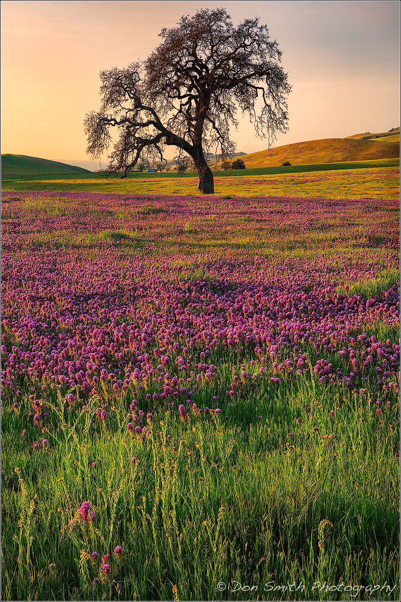 A spingtime field of owl's clover and a lone oak, San Benito County, California, USA.
